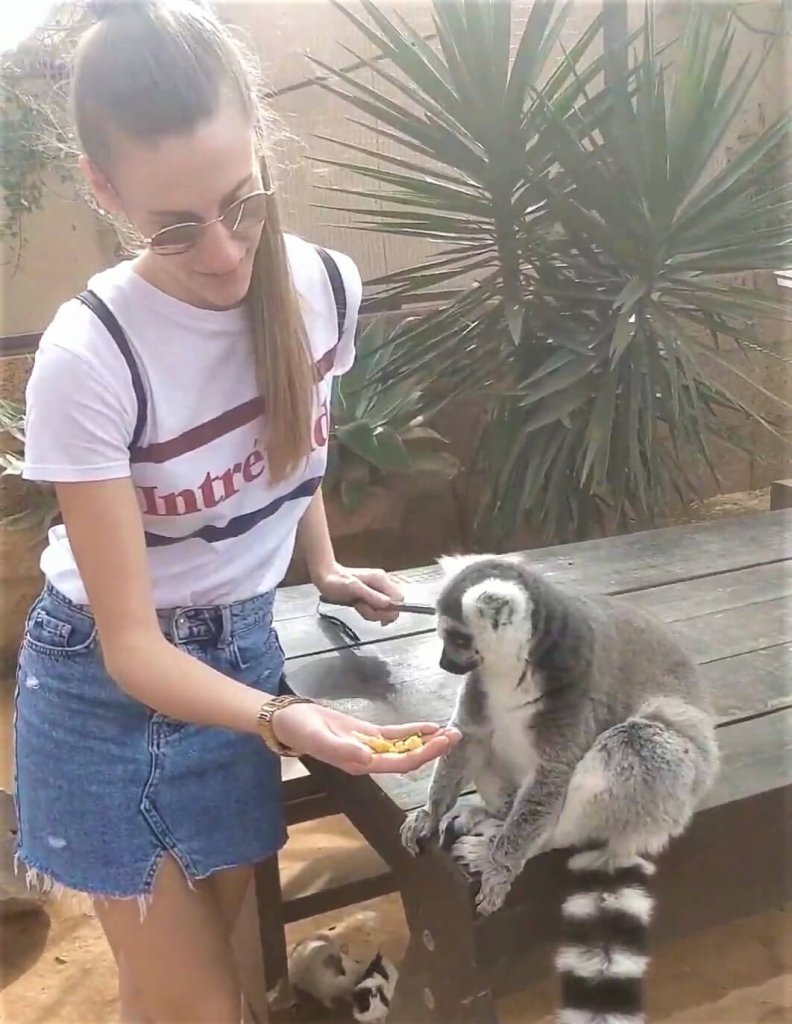 Lemur of Madagascar eating corn from my hand